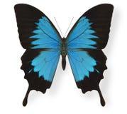 蝴蝶查出的伊利亚斯白色 库存图片