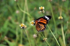 蝴蝶栖息处和吃花蜜在草花 免版税库存照片