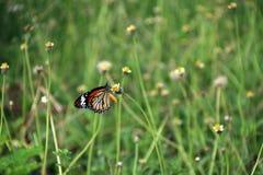蝴蝶栖息处和吃花蜜在草花 免版税库存图片