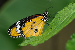 蝴蝶格斯达里加 库存图片