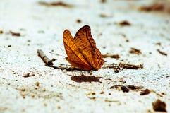 蝴蝶桔子 库存照片