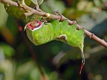 蝴蝶毛虫cerura erminea 库存照片
