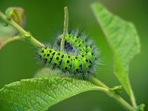 蝴蝶毛虫eudia pavonia 免版税库存照片