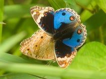 蝴蝶求爱 库存照片
