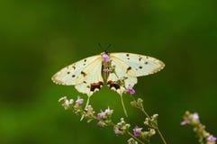 蝴蝶汉语 免版税图库摄影