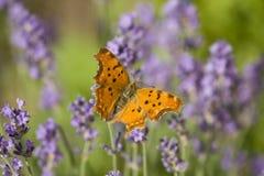 蝴蝶淡紫色桔子 库存图片
