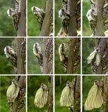蝴蝶演变阶段 免版税库存照片