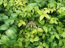 蝴蝶灌木丛 图库摄影