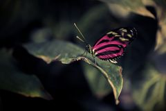 蝴蝶特写镜头与被疏远的明亮的桃红色翼的坐在对比黑暗sorrounding的一片叶子 库存照片