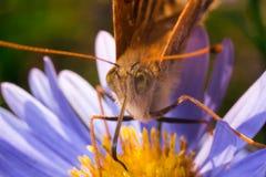 蝴蝶特写镜头在紫罗兰的和yellos开花macrophotogr 库存照片