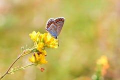 蝴蝶特写镜头的宏观照片 蝴蝶坐花 飞蛾坐花并且喝花蜜 飞蛾的照片 免版税库存照片