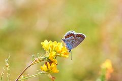 蝴蝶特写镜头的宏观照片 蝴蝶坐花 飞蛾坐花并且喝花蜜 飞蛾的照片 免版税库存图片