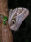 蝴蝶猫头鹰黄褐色 库存图片
