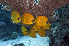 蝴蝶珊瑚鱼礁石 库存图片