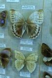 蝴蝶的陈列在动物学博物馆, 库存图片