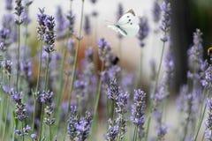 蝴蝶盘旋在淡紫色花 库存图片