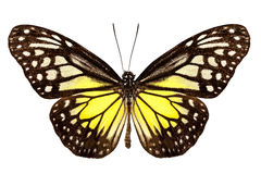 蝴蝶种类Parantica aspasia 免版税库存照片