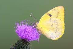 蝴蝶移居黄色 库存图片
