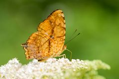 蝴蝶系列 免版税库存照片