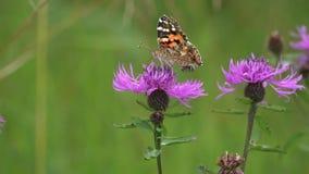 蝴蝶绘了夫人或世界性/Vanessa cardui/在棕色黑矢车菊属花,然后它由一只小蜂/p驱逐 影视素材