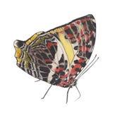 蝴蝶绘画 库存图片
