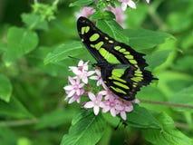 蝴蝶绿沸铜 免版税库存照片