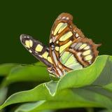 蝴蝶绿沸铜 库存照片
