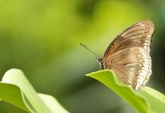 蝴蝶绿色本质 免版税库存照片