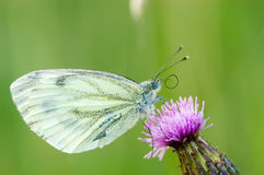 蝴蝶绿色napi pieris成脉络的白色 免版税库存图片