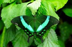 蝴蝶绿色swallowtail 库存图片