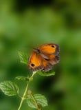 蝴蝶网守 库存图片