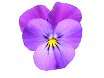 蝴蝶花中提琴 库存图片