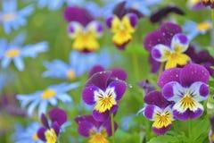 蝴蝶花和雏菊,明亮和快乐的照片,特写镜头 免版税库存图片