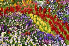 蝴蝶花和cockscomb花河床  图库摄影