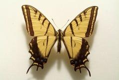 蝴蝶花梢黄色 库存图片