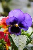 蝴蝶花的花一三色紫罗兰色生长在庭院里 照片在雨之后被拍了 库存照片