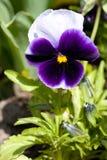 蝴蝶花紫罗兰 库存照片