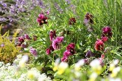 蝴蝶花花,中提琴, levander,春天花的区别颜色 在春天的开花的五颜六色的花 免版税图库摄影