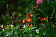 蝴蝶花 库存图片