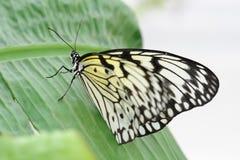 蝴蝶若虫结构树 库存照片