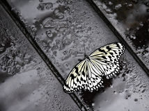 蝴蝶若虫雨豆树 库存照片