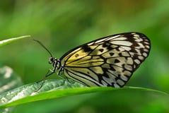 蝴蝶若虫 库存照片