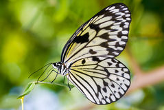 蝴蝶若虫 库存图片