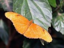 蝴蝶茱莉亚桔子 库存照片