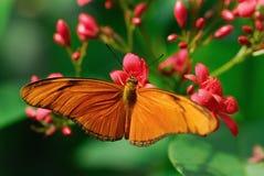 蝴蝶茱莉亚 免版税库存图片