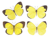 蝴蝶草黄色 库存照片