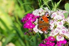 蝴蝶荨麻疹坐一支桃红色和白色康乃馨的花在绿色背景的 库存图片