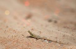 蝴蝶蜥蜴蜥蜴Leiolepis居维叶,泰国 图库摄影