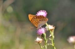 蝴蝶被洗涤的贝母银 图库摄影