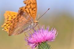 蝴蝶被洗涤的贝母银 免版税图库摄影